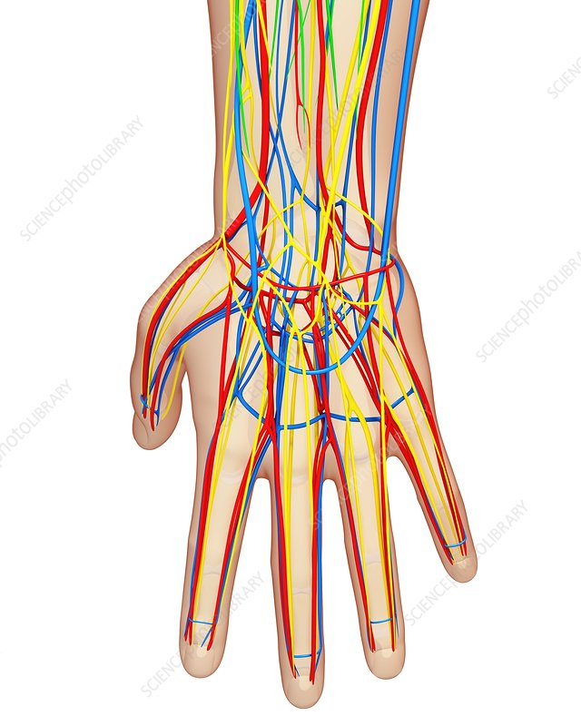 Hand anatomy, artwork
