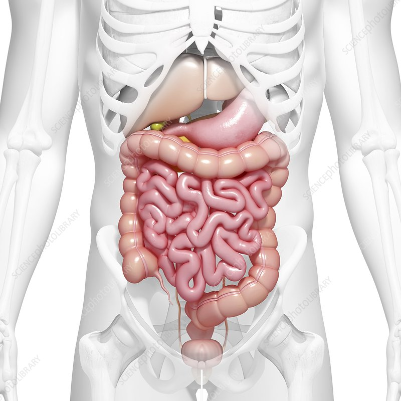Healthy digestive system, artwork - Stock Image F006/0820 - enlarged ...