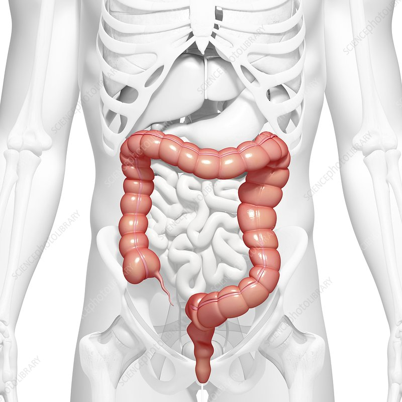 Healthy large intestines, artwork