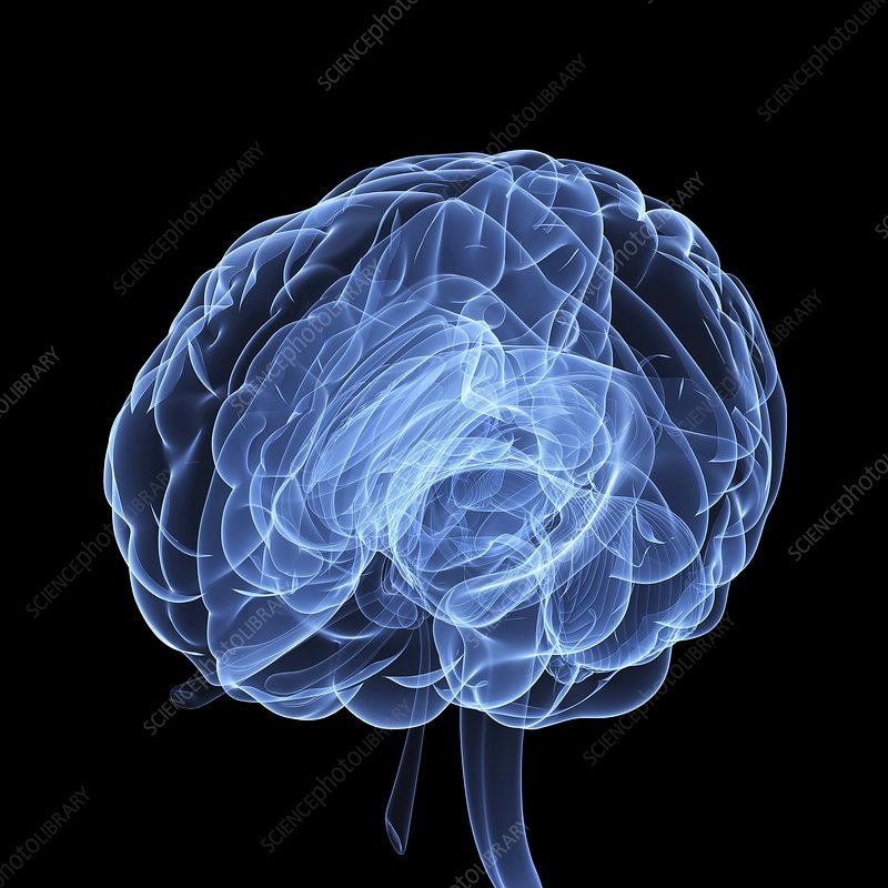 Human brain, artwork - Stock Image F006/0861 - enlarged - Science ...