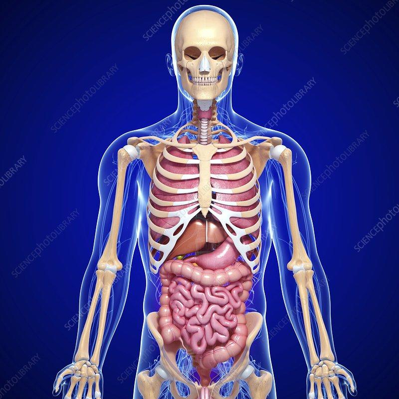 Male anatomy photos