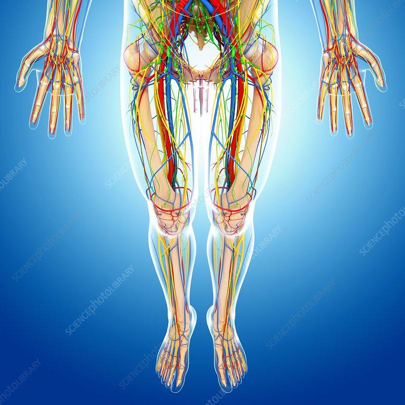Lower Body Anatomy Artwork Stock Image F0060937 Science