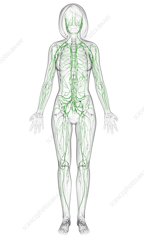 Female lymphatic system, artwork - Stock Image F006/1056 - Science ...