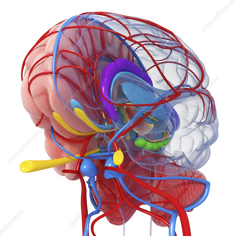 Brain anatomy, artwork