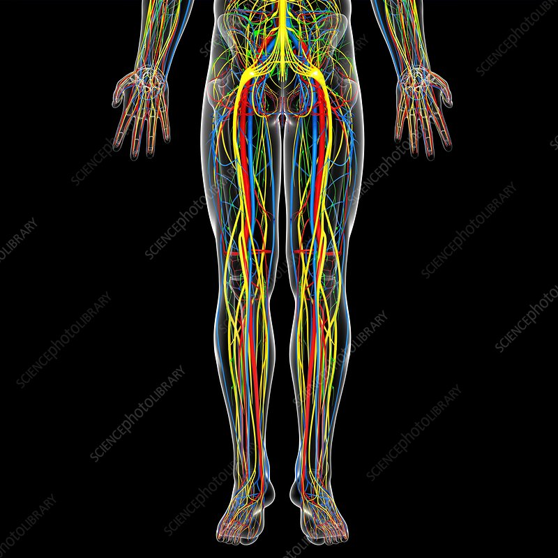 Lower body anatomy, artwork