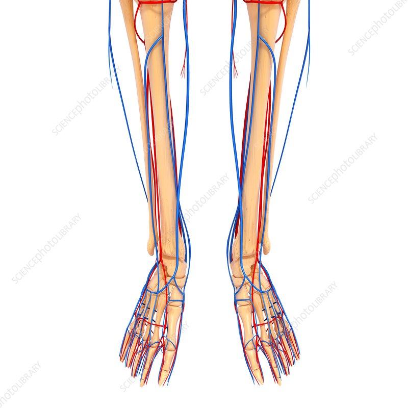 Leg anatomy images