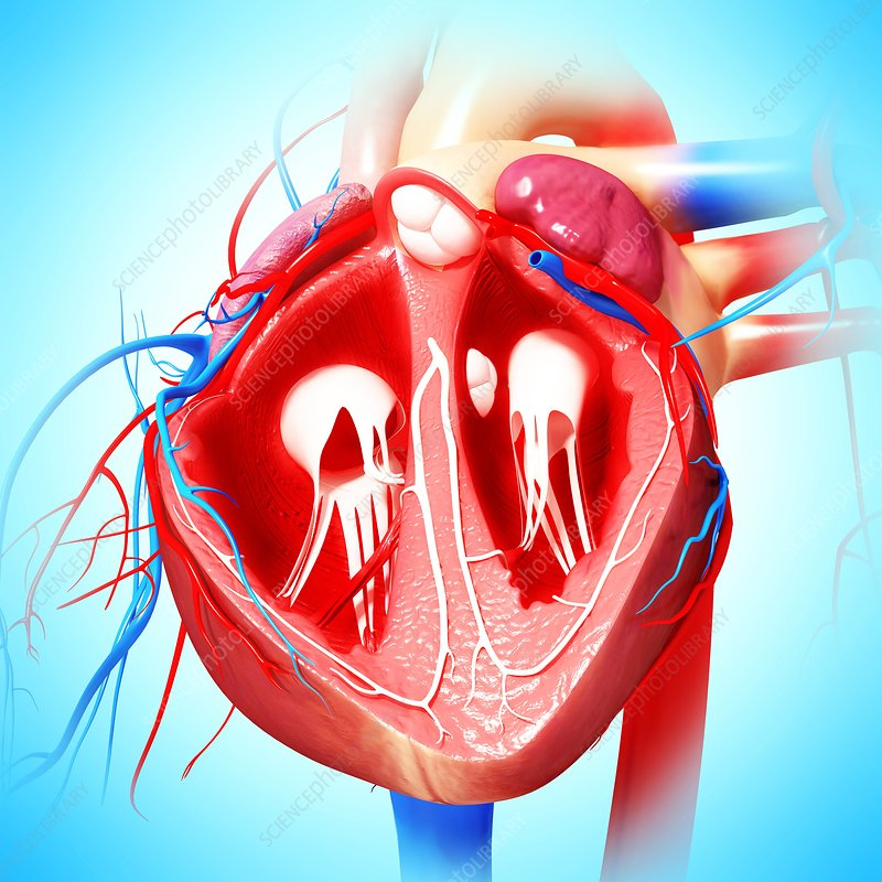 Nursing Documentation besides The Radial Vein as well Parts Of The Skeletal System And Their Definition additionally Cardiovascular also Enlarge. on circulatory system veins