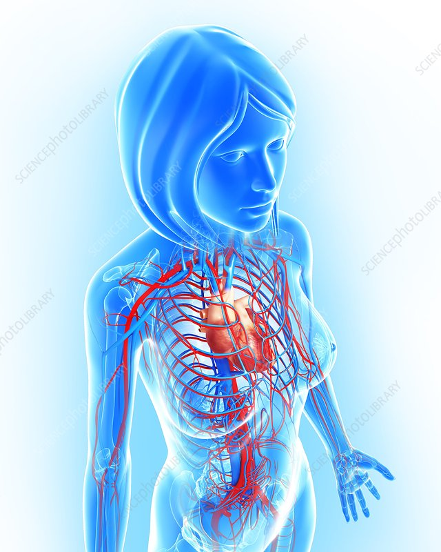 Female cardiovascular system, artwork