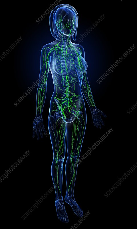 Female lymphatic system, artwork
