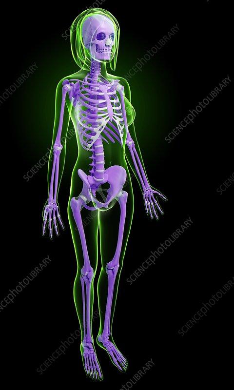 Female skeleton, artwork - Stock Image F006/1483 - enlarged - Science ...: sciencephoto.com/media/500852/enlarge