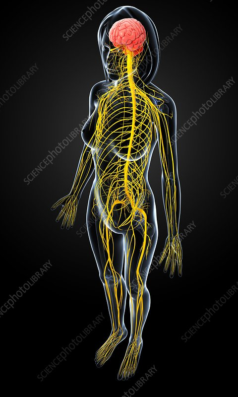 Female nervous system, artwork
