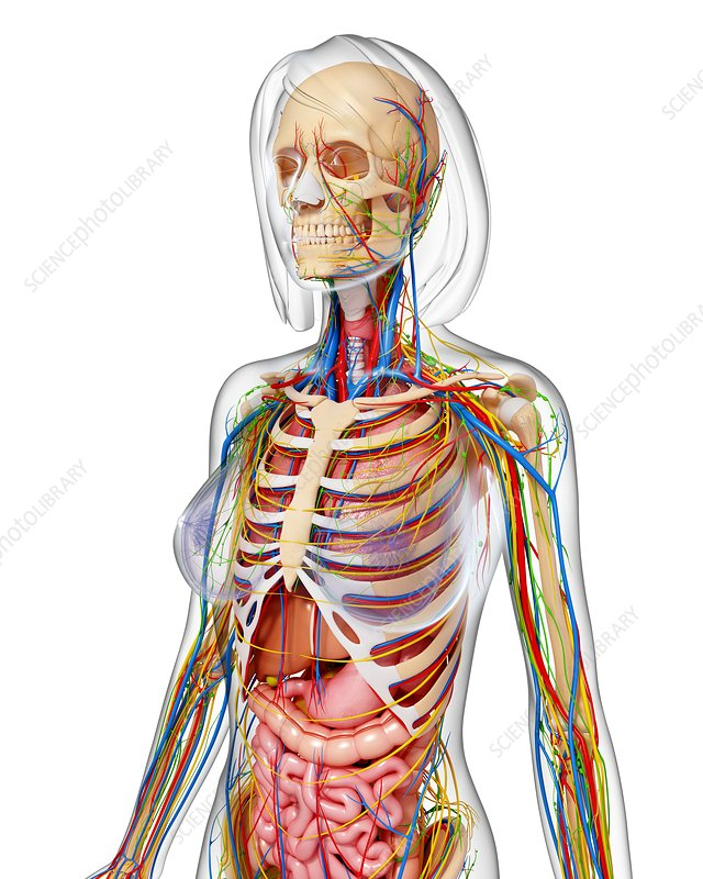 Female anatomy, artwork