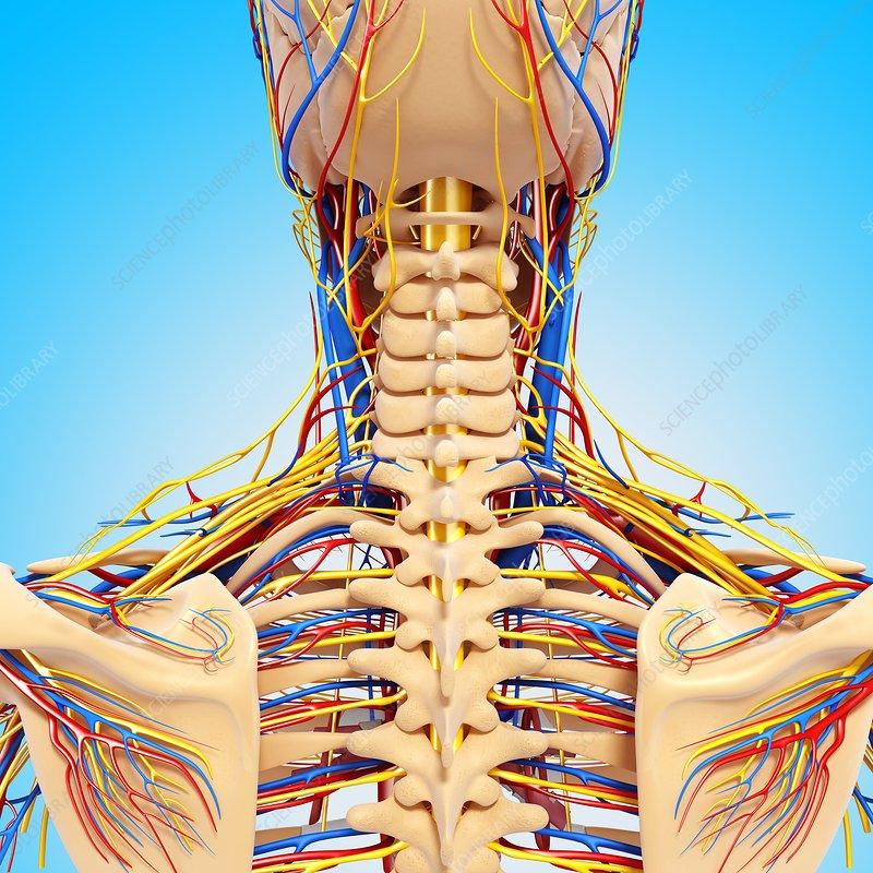 Upper Body Anatomy Artwork Stock Image F0061964 Science