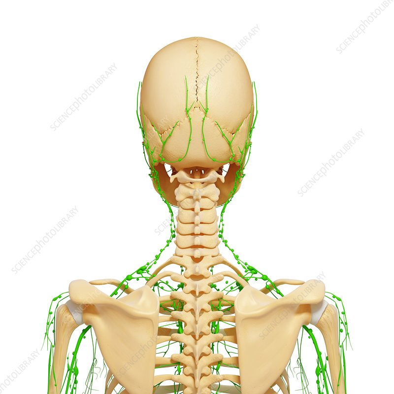 Upper body anatomy, artwork