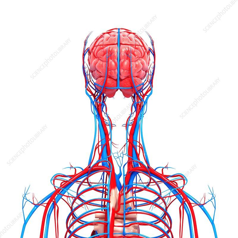 Upper Body Anatomy Artwork Stock Image F0061980 Science