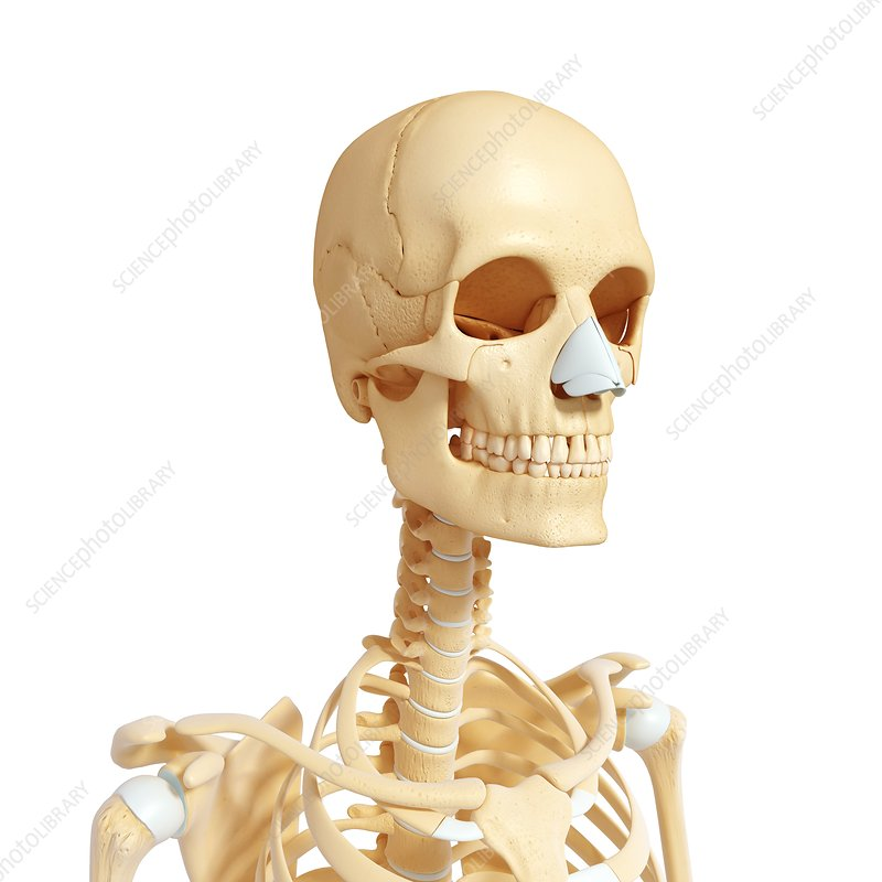 Female skeleton, artwork