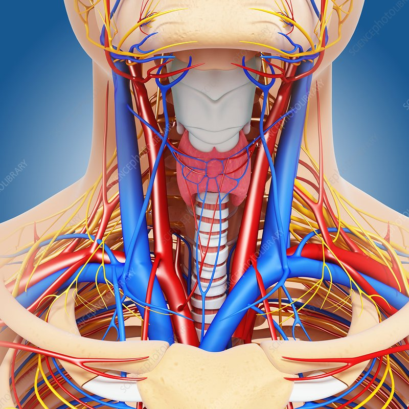 The Short Story Of Stress furthermore Interior View Of The Human Heart Heart Anatomy Tutorial Youtube moreover Circulatory System Diagram furthermore Circulatory System In Arm also The Vascular System Chart Vr1353uu p 1357 2664. on circulatory system head and neck