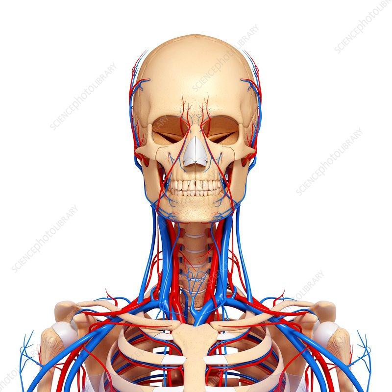 Upper Body Anatomy Artwork Stock Image F0062096 Science