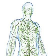 Male lymphatic system, artwork