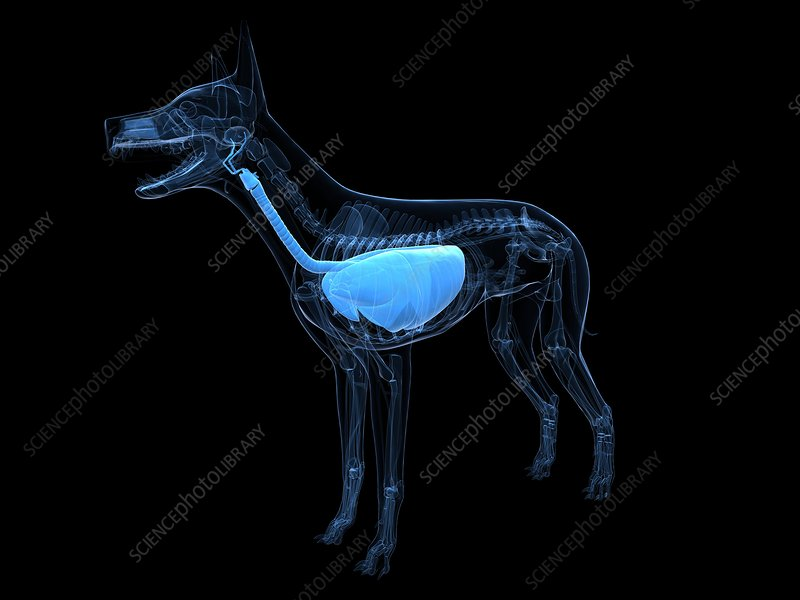 Dog respiratory system, artwork
