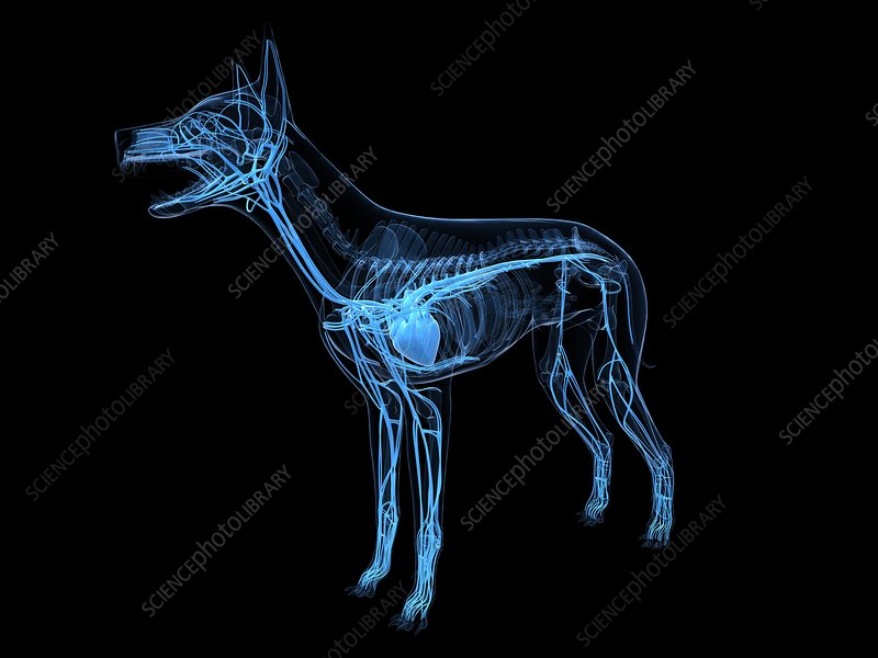 Dog cardiovascular system, artwork