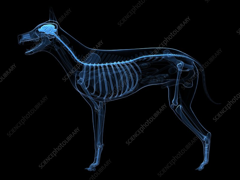 Dog central nervous system, artwork