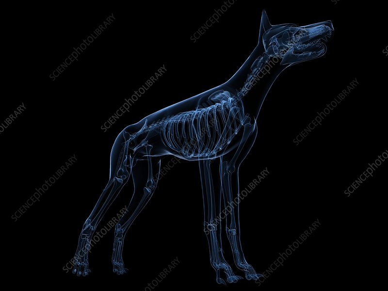 Dog skeleton, artwork