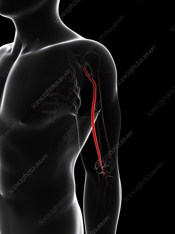 Arm artery, artwork
