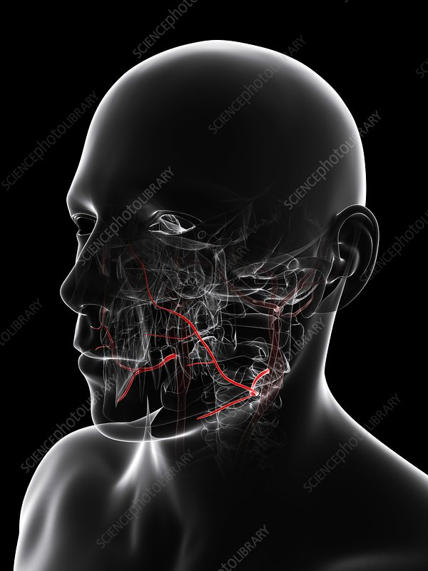 Facial arteries, artwork