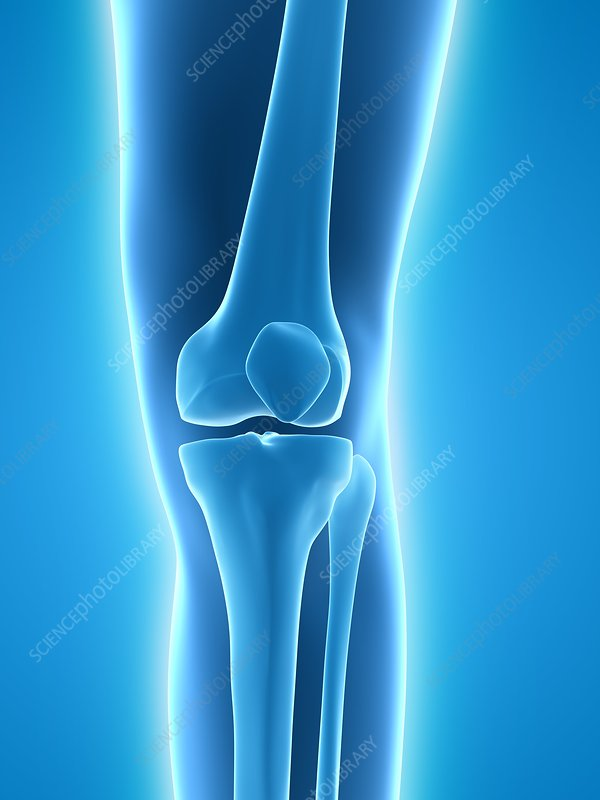 Healthy knee, artwork