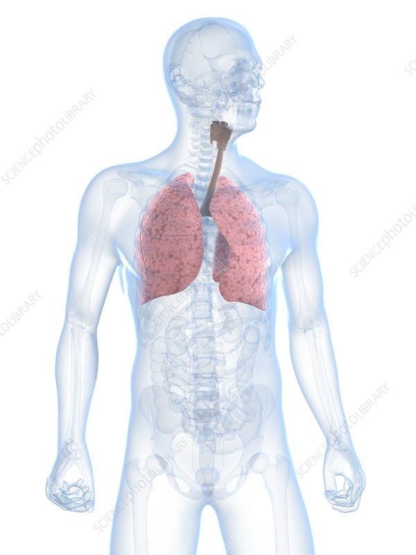 Healthy respiratory system, artwork