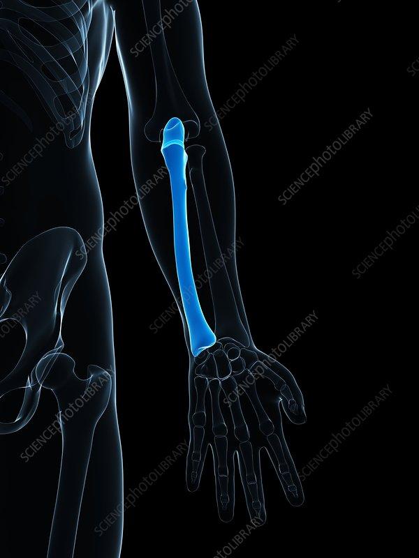 Lower arm bone, artwork