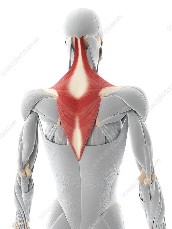 Back muscle, artwork