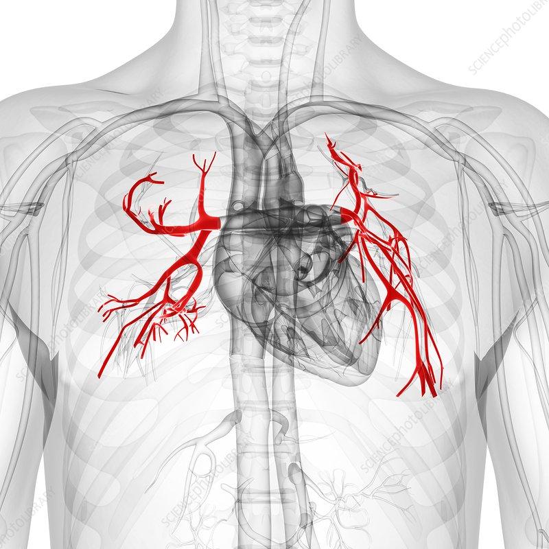 Pulmonary arteries, artwork