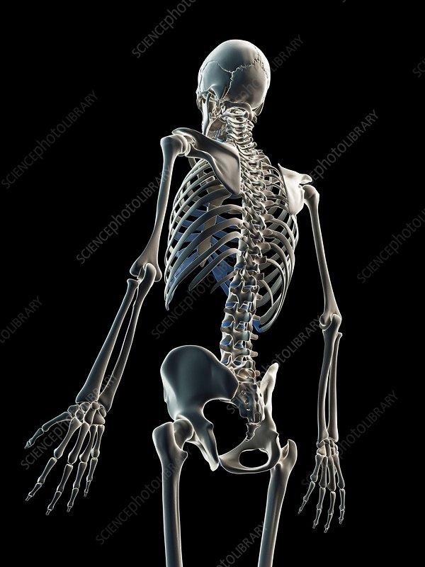 Male skeleton, artwork