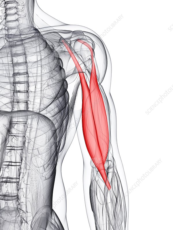 Arm muscle, artwork