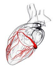 Coronary arteries, artwork