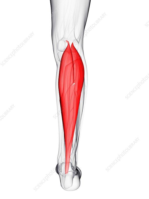 Calf muscle, artwork
