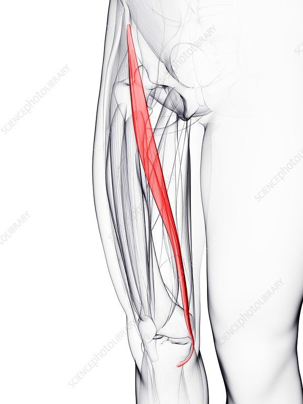 Thigh muscle, artwork