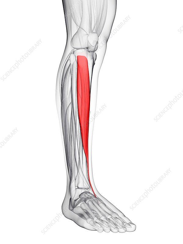 Shin muscle, artwork