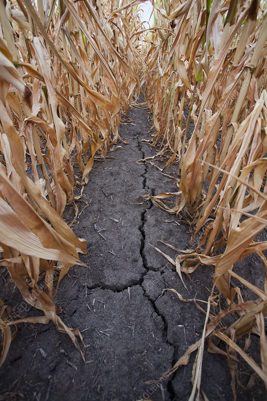 Crack in dry corn field