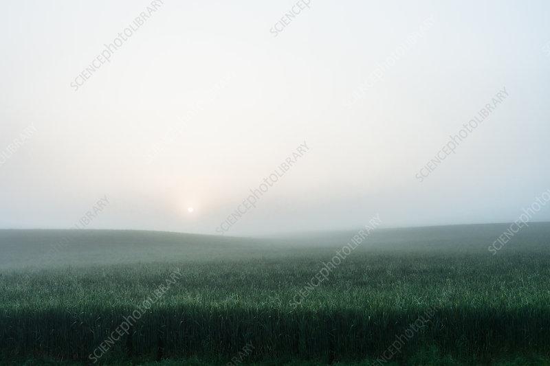 Foggy field of tall grass