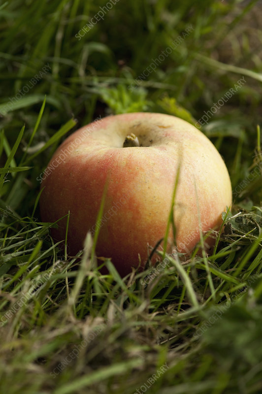 Close up of apple in grass