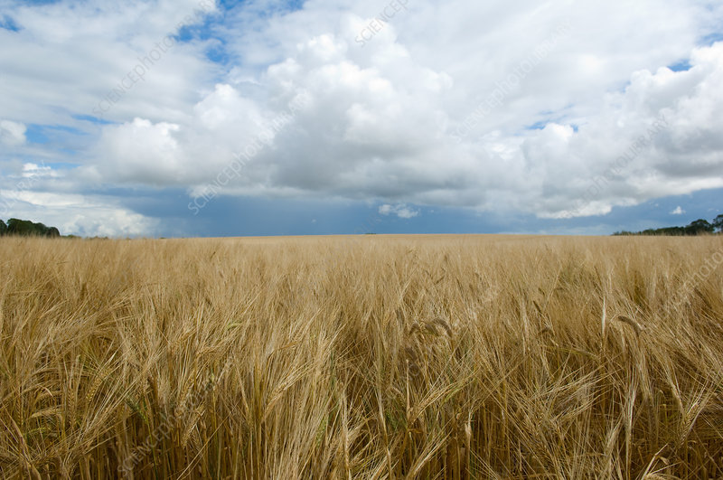 Clouds over field of barley