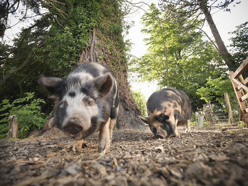 Pigs rooting on dirt ground