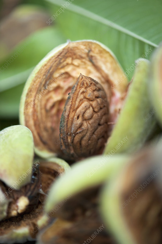 Close up of fresh almond in pod
