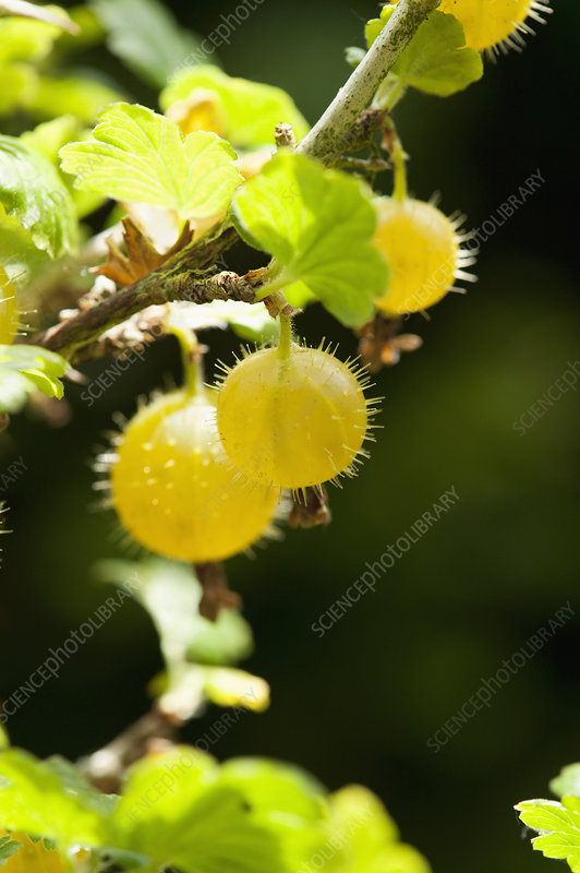 Close up of gooseberries on bush