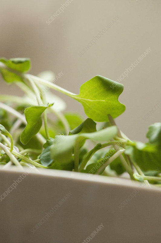 Close up of bowl of micro leaves