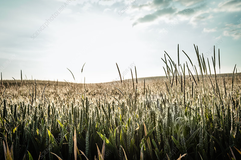 Field of tall grass under blue sky