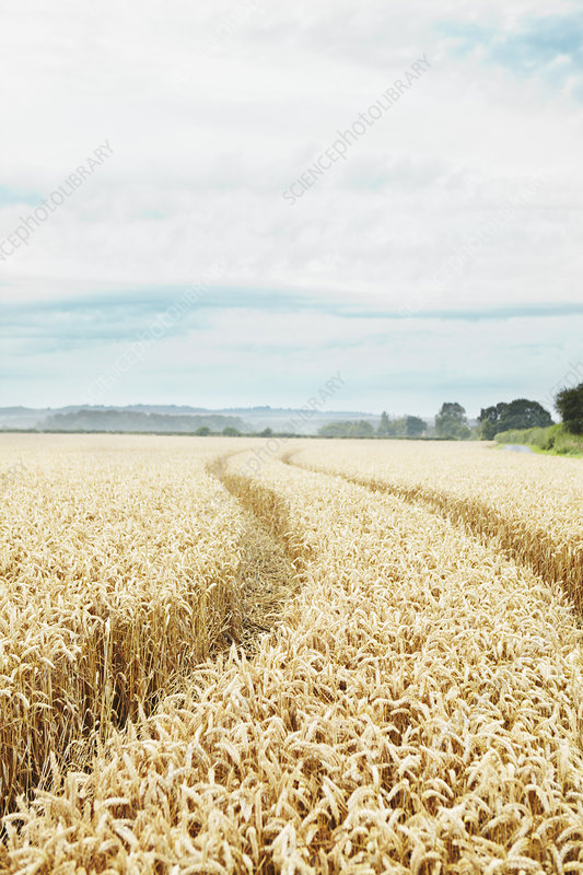 Paths carved in field of tall wheat